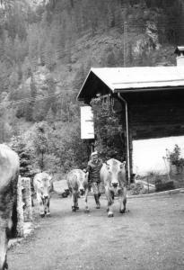 Contadino che conduce le proprie mucche al pascolo
