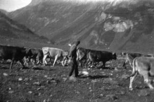 Pastore con mucche a Morasco
